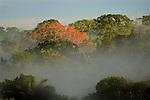 Rainforest tree in bloom. Lowland Amazon rainforest near Napo River, Ecuador.