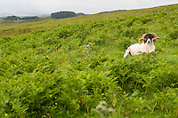UK, England.  Sheep Resting in a Field along Hadrian's Wall Footpath.