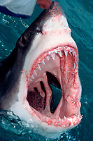 great white shark, Carcharodon carcharias, jawing, South Africa