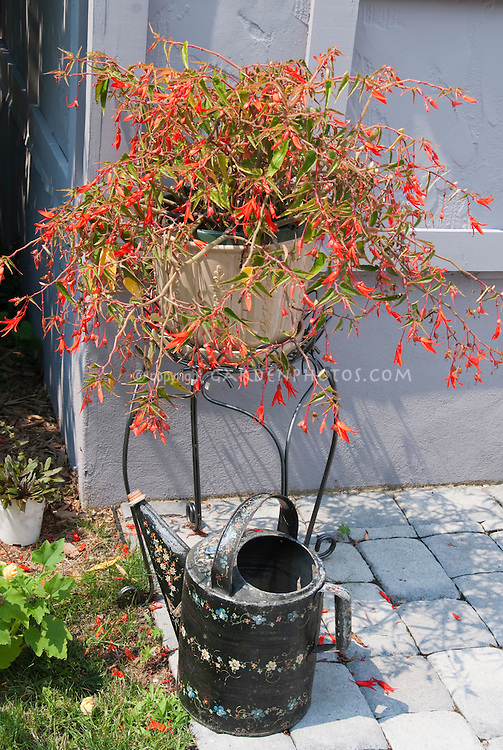 Decorated watering can on stone patio next to house wall, with pot of begonia in red flowers in summer