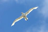 "Southern Giant-Petrel (Macronectes giganteus), ""white Nelly""  in flight near Macquarie Island Station, Macquarie Island, Australia."