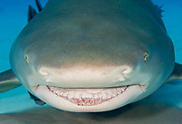 Lemon shark (Negaprion brevirostris) in the Bahamas