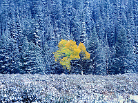749450284 a fall colored isolated aspen tree  populous tremuloides shows in brilliant yellow framed by snow covered fir trees in grand tetons national park wyoming