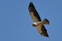 Swainson's Hawk, Texas roadside south of Fort Stockton