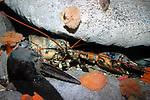 northern lobster in deep boulder reef rock crevice
