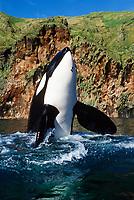 Keiko, star of Free Willy movie, orca or killer whale, Orcinus orca, spyhopping, Klettsvik Bay, Vestmannaeyjar, Westman Islands, Iceland