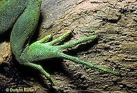 1R10-009a  Iguana - hind foot, iguana from Central America - Iguana iguana