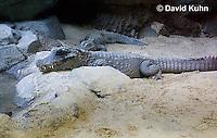 0311-1102  West African Dwarf Crocodile (Broad-Nosed Crocodile), Osteolaemus tetraspis  © David Kuhn/Dwight Kuhn Photography