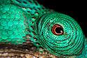 Parsons chameleon male (Calumma parsonii), detail of eye, in tropical rainforest, Andasibe-Mantadia National Park, Madagascar.