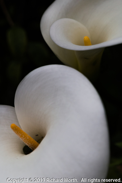 Two weeks before the first day of spring, calla lilies bloom in a San Francisco Bay area back yard.