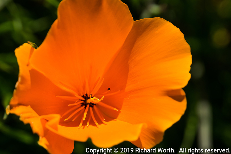 A close-up of a Golden poppy, the California state flower, on a spring afternoon in a San Francisco Bay area regional park.