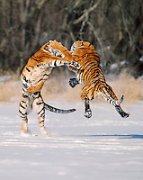 Two Siberian Tigers (Panthera tigris altaica) Winter.