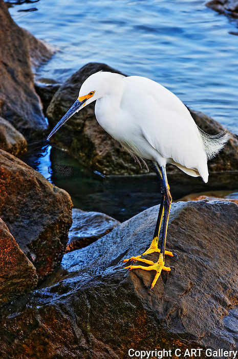 Heron on a wet rock, Balboa Island, CA