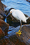 Heron on a wet rock, Balboa Island, CA
