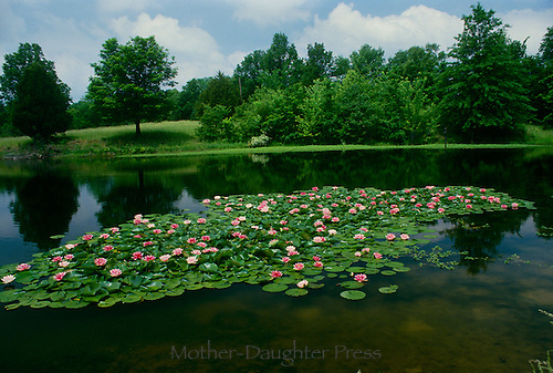 Gorgeous pink water lilies bloom in a floating group on a peaceful rural pond in summer