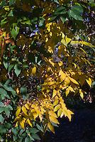 Zelkova serrata 'Iruma Sango' Columnar Japanese Zelkova in autumn fall yellow gold color, changing colors