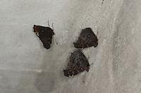 Tagpfauenauge, Überwinterung als Falter an der Decke in einem frostsicheren Gebäude, Flügel-Unterseite, Tag-Pfauenauge, Aglais io, Inachis io, Nymphalis io, peacock moth, peacock