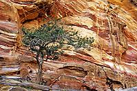 Tree on a rock formation, Petra, Jordan.
