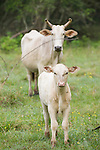 Brazoria County, Damon, Texas; a white calf with a white Brahma mother cow out in the pasture