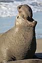 North America, USA, California, San Simeon. Northern Elephant Seal