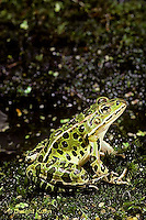 FR22-006b  Leopard Frog - adult - Lithobates pipiens, formerly Rana pipens