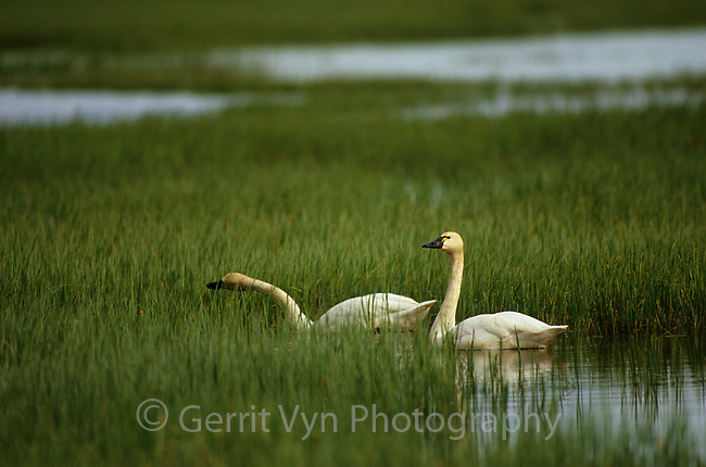 Pair of Tundra Swans (Cygnus columbianus) feeding in a tundra marsh. Colville River Delta, Alaska. July.