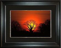 """Baobab Tree Sunrise<br /> Image Size:  20"""" x 30""""<br /> Finished Frame Dimensions:   34"""" x 44""""<br /> Quantity Available: 1"""