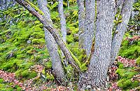 Oak trunks and moss covered rocks. Near Catherine Creek. Columbia River Gorge National Scenic Area, Washington