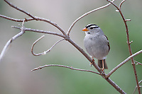 White-crowned Sparrow (Zonotrichia leucophrys gambelii), Gambel's subspecies, adult foraging at the Paton Center for Hummingbirds, Patagonia, Arizona.