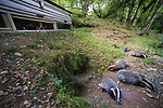 Watching European Badgers (Meles meles) from a hide in deciduous woodland. June, Mid Devon, UK.