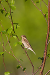 Purple finch - 1st year male perched in a speckled alder.