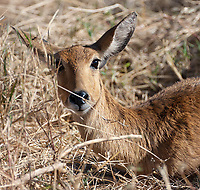 The reedbuck is one of the prettier antelope found in Tanzania, in my opinion.