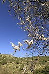 Israel, Jerusalem mountains, Almond tree in Nahal Ksalon