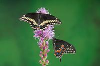 Eastern Black Swallowtail Butterflies (Papilio polyxenes asterius).  Male sits above female on Blazing Star/Gayfeather (Liatris spicata 'Kobold') in backyard garden. Summer. Nova Scotia, Canada.