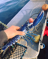BNPS.co.uk (01202) 558833. <br /> Pic: TomLambourn/BNPS<br /> <br /> A fisherman has told of his 'one in two million' catch of a bright blue lobster.<br /> <br /> Tom Lambourn was stunned when he opened his lobster pot to find the vivid crustacean inside.