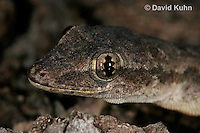 0507-08pp  Flat-tailed House Gecko, Cosymbotus platyurus © David Kuhn/Dwight Kuhn Photography