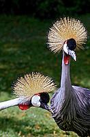 Animais. Aves. Grow  (Balearica regulorum). Quênia. Foto de João Caldas.