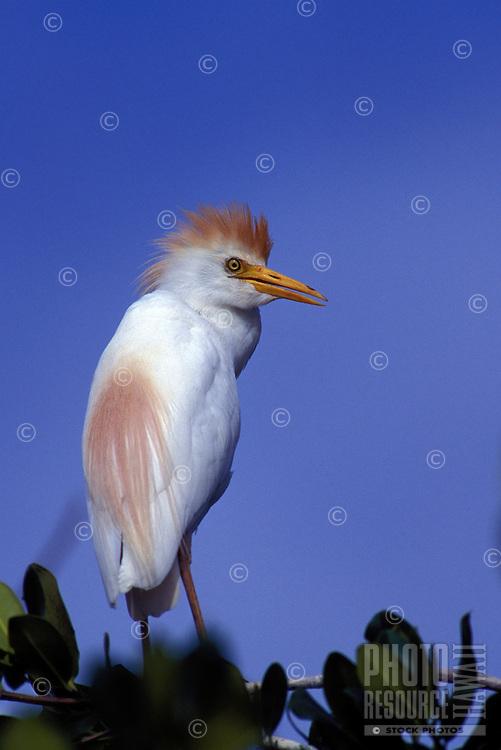 Cattle egret-breeding plumage, Oahu