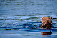 609682165 a wild adult brown bear ursus arctos floats down the brooks river looking for salmon near brooks falls and the lodge in katmai national park alaska