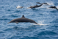 A group of Central American Spinner Dolphins, Stenella longirostris centroamericana, porpoising, Costa Rica, Pacific Ocean