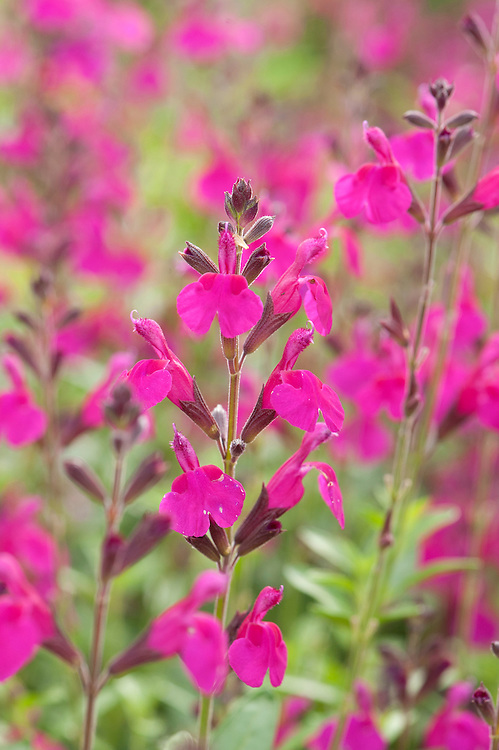 Salvia x jamensis 'Raspberry Royale', early August.