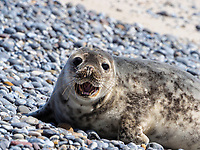 junge Kegelrobbeen (Halichoerus grypus) am Nord--Oststrand, Düne, Helgoland, Düne, Insel Helgoland, Schleswig-Holstein, Deutschland, Europa<br /> young grey seal (Halichoerus grypus) at north-east beach, dune, Helgoland island, district Pinneberg, Schleswig-Holstein, Germany, Europe