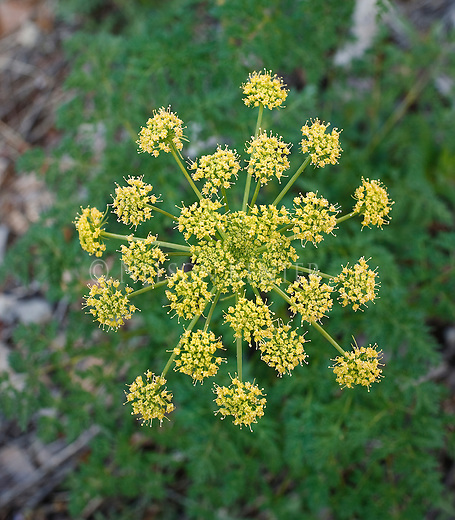 Wild Parsley growing in a Montana forest