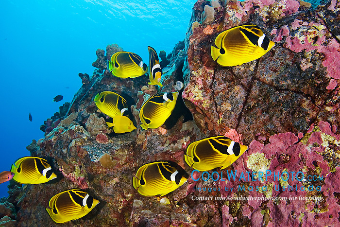 raccoon butterflyfish, Chaetodon lunula, Kona Coast, Big Island, Hawaii, USA, Pacific Ocean