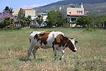Foto: VidiPhoto<br /> <br /> KOS – Koeien lopen op het vakantie-eiland Kos en in grote delen van Griekenland gewoon aan de leiband. Letterlijk. Ze staan vast aan een paal met een stuk touw en begrazen alleen het deel van het weiland dat de langte van het touw toe laat. Zodra het stuk is afgegraasd, wordt de koe verplaatst. Een afrastering kennen de meeste Griekse boeren niet. Reden is dat er maar weinig melkveehouders zijn en de bedrijven vaak bestaan uit een handjevol koeien met wat ander vee. Bovendien kunnen zo kleine stukken grasland afgegraasd worden, ook midden in de stad zoals hier. De bekende, dikke romige, Griekse yoghurt: yiaoúrti, wordt gemaakt van melk van de bruine koe. Door de crisis krijgen de koeien ook vrijwel geen krachtvoer meer en doen ze dus noodgedwongen aan de lijn.