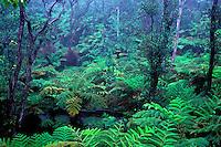 Fern ohia forest at Thurston Lava Tube, Hawaii Volcanoes National Park, Big Island