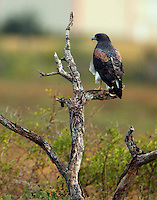 White-tailed hawk adult