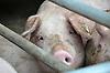 Schwein im Schweinstall