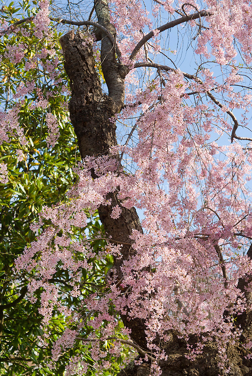 Prunus subhirtella Pendula, Weeping Higan Cherry tree in pink spring bloom