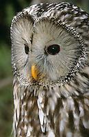 Habichtskauz, Habichtkauz,  Habichts-Kauz, Uralkauz, Strix uralensis, Ural owl